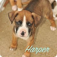 Adopt A Pet :: Harper - Colmar, PA