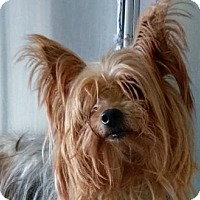 Adopt A Pet :: Lucy - Bloomington, IL