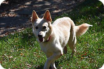 Finnish Spitz/Labrador Retriever Mix Dog for adoption in Charlotte, North Carolina - Lady