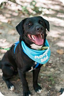 Labrador Retriever/Collie Mix Dog for adoption in Huntsville, Alabama - Dexter