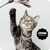 Adopt A Pet :: Siobhan - Wyandotte, MI