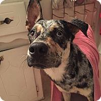 Adopt A Pet :: Falcon - oklahoma city, OK