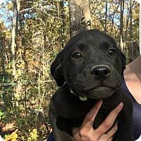 Adopt A Pet :: Lily - Boston, MA