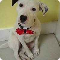 Adopt A Pet :: Doodle - Philadelphia, PA