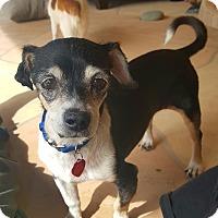Adopt A Pet :: Bandit - New River, AZ
