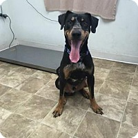 Adopt A Pet :: Stitch - Chico, CA