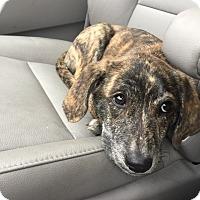 Adopt A Pet :: Singer - Hainesville, IL