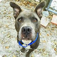 Adopt A Pet :: Brutus - Umatilla, FL