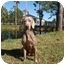 Photo 1 - Weimaraner Dog for adoption in Eustis, Florida - Everett  **ADOPTED**