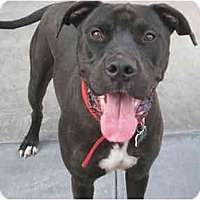 Mastiff/American Pit Bull Terrier Mix Dog for adoption in Burbank, California - Walt