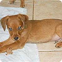 Adopt A Pet :: Landon - Plano, TX