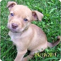 Adopt A Pet :: Chardonney - Allentown, PA