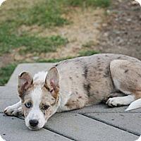 Adopt A Pet :: CASSIDY - Torrance, CA