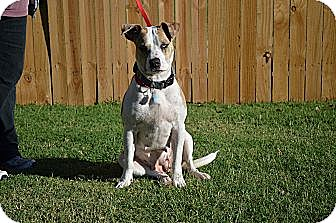 Catahoula Leopard Dog/Pit Bull Terrier Mix Dog for adoption in Norman, Oklahoma - Stella