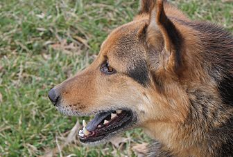 German Shepherd Dog/Chow Chow Mix Dog for adoption in Portland, Indiana - Gypsy