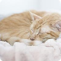Adopt A Pet :: Toffee - Houston, TX