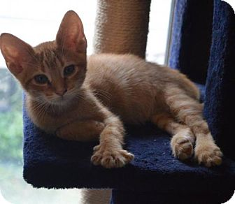 Domestic Shorthair Kitten for adoption in Livonia, Michigan - C15 Litter-Flareon