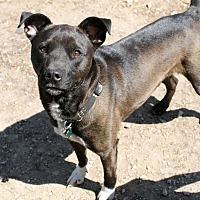 American Bulldog Mix Dog for adoption in Fort Madison, Iowa - Harley