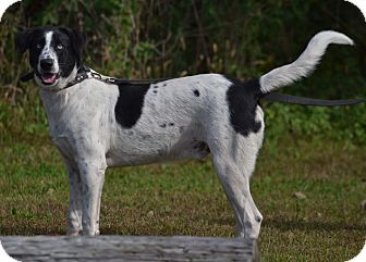 Labrador Retriever Mix Puppy for adoption in Lebanon, Missouri - Levi
