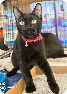 Domestic Shorthair Kitten for adoption in Merrifield, Virginia - Doodle