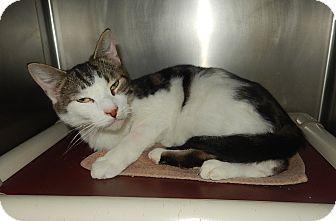 Domestic Shorthair Cat for adoption in Newport, North Carolina - Bowser (New Bern Petsmart)