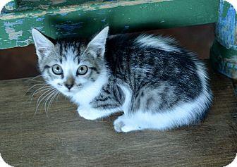 Domestic Shorthair Kitten for adoption in San Antonio, Texas - Bebe