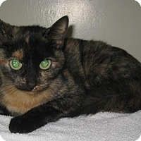 Domestic Shorthair Kitten for adoption in Gary, Indiana - Mocha