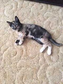 American Shorthair Cat for adoption in Calimesa, California - Checkers