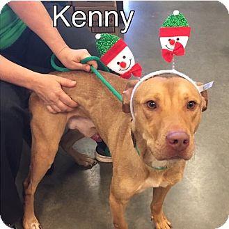 Labrador Retriever/Bulldog Mix Dog for adoption in Springfield, Massachusetts - Kenny-URGENT