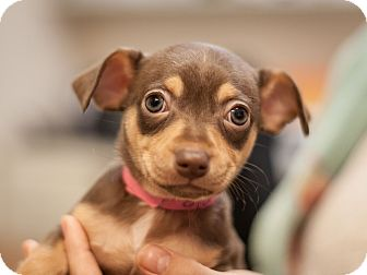 Miniature Pinscher Mix Puppy for adoption in Dallas, Texas - Clarabelle