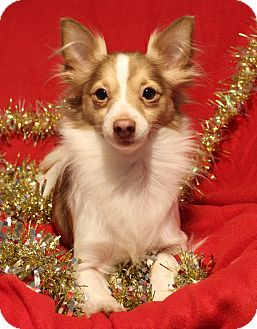 Papillon Mix Dog for adoption in Yadkinville, North Carolina - Buster