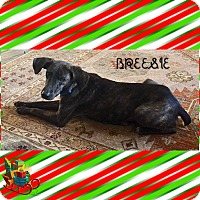 Mountain Cur/Spaniel (Unknown Type) Mix Dog for adoption in PARSIPPANY, New Jersey - BREESIE