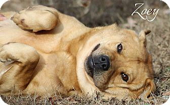 Chow Chow/Beagle Mix Dog for adoption in Columbia, Tennessee - Zoey