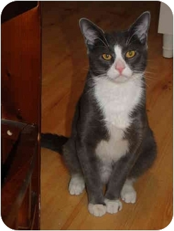 Domestic Shorthair Cat for adoption in Putnam Valley, New York - Jeranamo