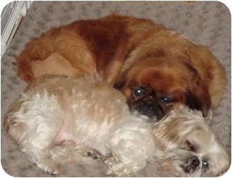 Pekingese/Shih Tzu Mix Dog for adoption in Mays Landing, New Jersey - Bosco & Elmo-NC