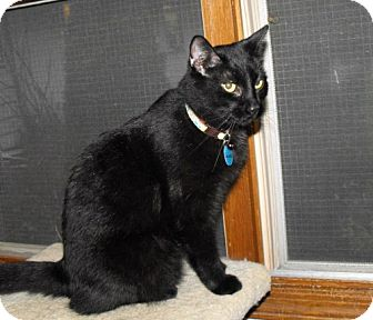 Domestic Shorthair Cat for adoption in Grand Rapids, Michigan - Snickers
