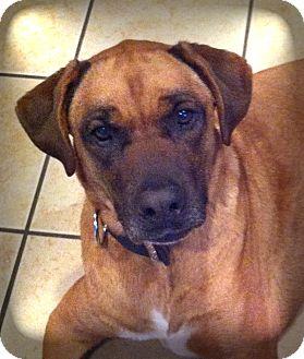 Jeb   Adopted Dog   fc-jkachilo   Lincolnton, NC   Boxer ...