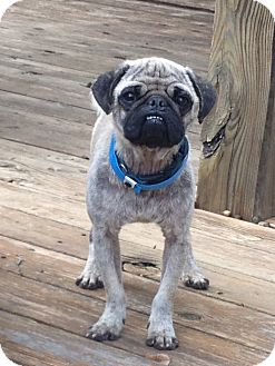 Pug Dog for adoption in Austin, Texas - Lightning