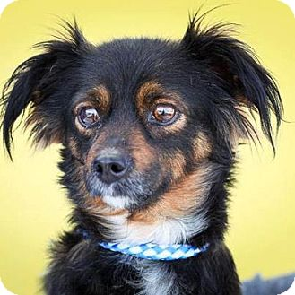 Dachshund Mix Dog for adoption in Santa Barbara, California - Cher