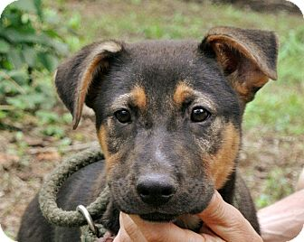 German Shepherd Dog Mix Puppy for adoption in Charlemont, Massachusetts - Gweneth