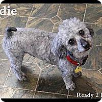 Adopt A Pet :: Eddie - Rockwall, TX