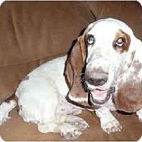 Adopt A Pet :: Dilbert - Phoenix, AZ