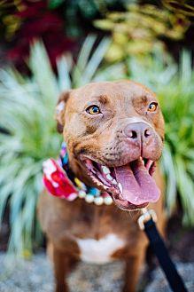 Pit Bull Terrier Mix Dog for adoption in Asheboro, North Carolina - Scarlett