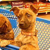 Adopt A Pet :: Bingo - Tucson, AZ