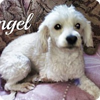 Adopt A Pet :: Angel - Scottsdale, AZ