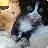 Adopt A Pet :: Mousetrap - Tampa, FL
