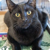 Adopt A Pet :: Midnight - Merrifield, VA