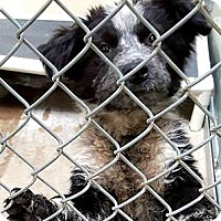 Adopt A Pet :: Giggs - Boulder, CO