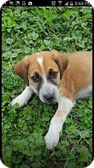 Beagle/Australian Cattle Dog Mix Puppy for adoption in Inver Grove, Minnesota - Kane (PENDING)