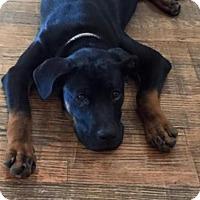 Adopt A Pet :: Morgan - McKinney, TX